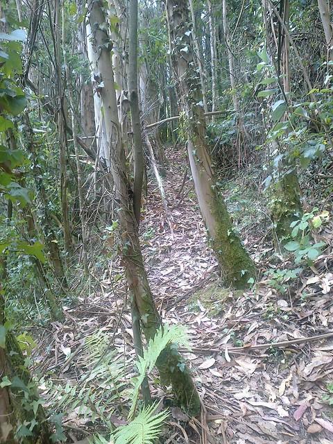 Sendero entre eucaliptos en Coirós