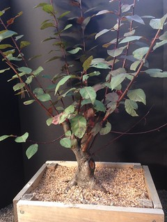 Prunus x cistena (purpleleaf sand cherry) #1