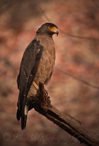 Serpent Eagle | by Pixxl