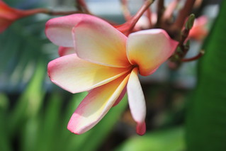 Frangipani | by Brooklyn Botanic Garden