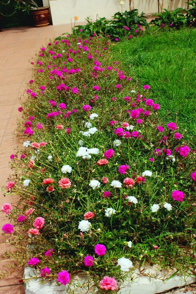 Portulaca Grandiflora Hook Hort Cv Mom Che Puteh S