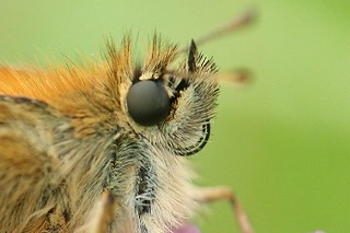 small skipper | by ian.harris1