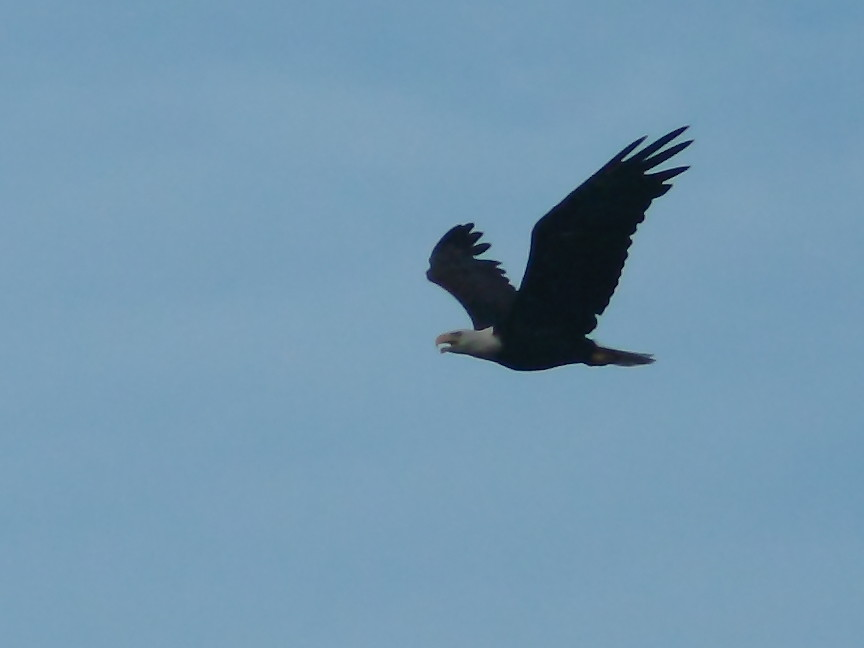 Bald Eagle 20120724 | ...