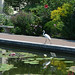 Great Egret at Lily Pool Terrace