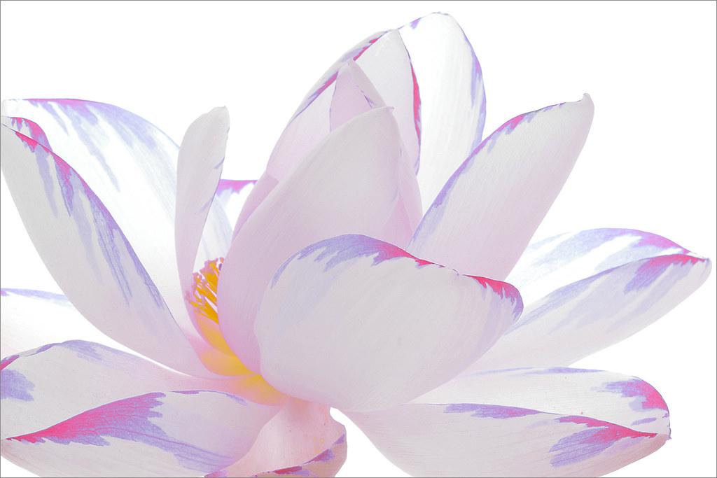 Lotus Flower Petals Surreal Series Dd0a0811 1000 Flickr