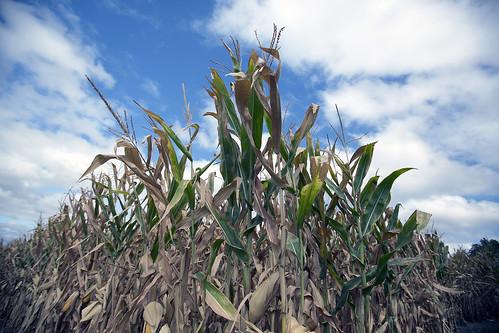 Corn in Iowa