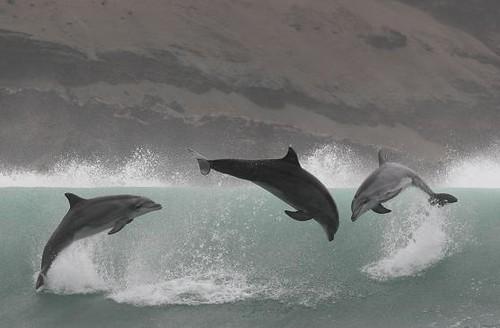 Bottlenose dolphins - Whale and dolphin watching in Peru with Nature Expedtions 16 | by stefanaustermuhle