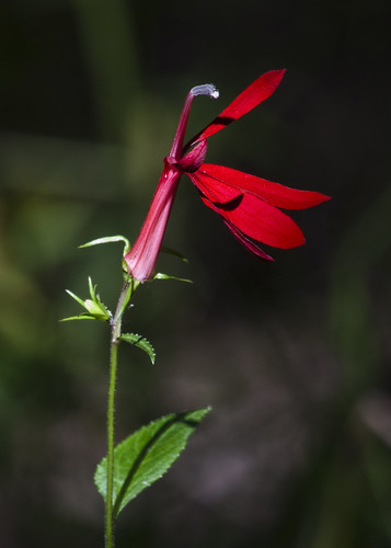Cardinal Flower | by Dah Professor