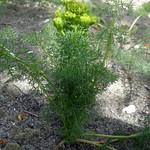 Ferulago setifolia, Tsaghkadzor, in culture, 2013.05.25