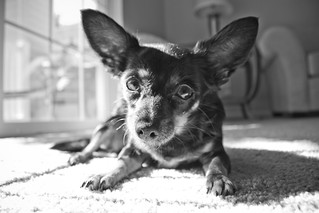 Lilly the Chihuahua - July 2012 | by gbozik photography