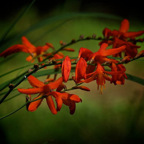 Montbretia in the forest (3/3) | by macpapaja