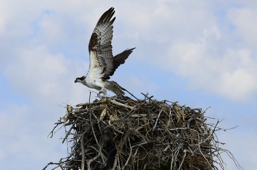 Osprey ospreys fish hawk bird bird of prey carnivore ospre for Fish hawk bird