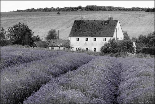 UK - Cotswolds - Snowshill Lavender Farm - White with a hint of Black and Lavender | by Darrell Godliman