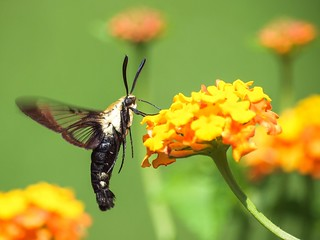 Hummingbird Clearwing Moth | by gwburke2001