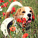 """# Flickr explored """"Porthos the Beagle in the Poppy Field"""" 