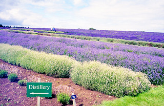 Adventures in Film ~Distillation of Lavender | by Lilla~Rose