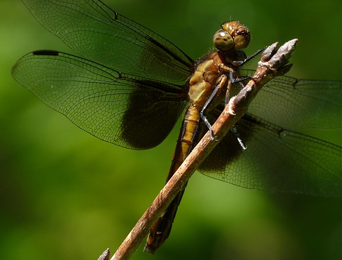 Dragonfly Eating Something FZ28 & LC55 P1150850 | by Ted_Roger_Karson
