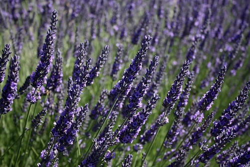 Lavender Farms Sequim