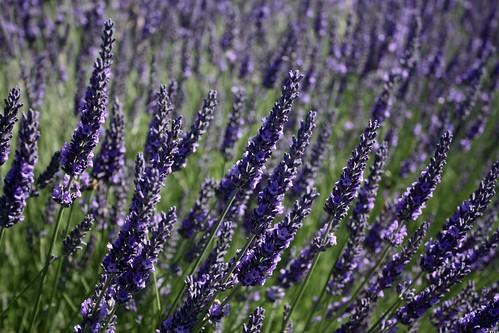Lavender Farms Sequim