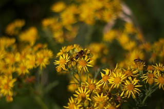 Yellow Flowers and Bees | by David.Owens