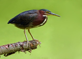 Green Heron with Duckweed Background | by Windows to Nature