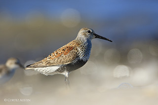 Dunlin_M6X4847 | by Cortez47