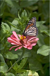 Monarch and Zinnia... Best on Black... | by Aquamarine Images