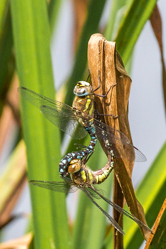 Mating Migrant Hawkers | by Hector16
