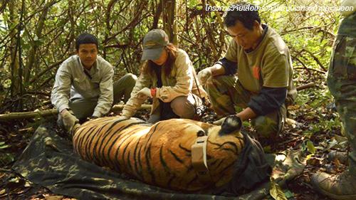โครงการวิจัยเสือโคร่งทุ่งใหญ่นเรศวรด้านตะวันออก (Thailand Tiger Project)