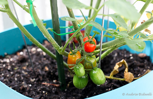 First ripe tomato! | by Blue is Bleu