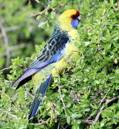 Green Rosella day today | by Trevira1