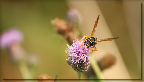 Wasp On A Flower | by JimbobEdsel (Limited participation for a while.)