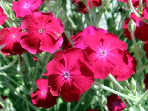 Rose campion | by Ruth and Dave