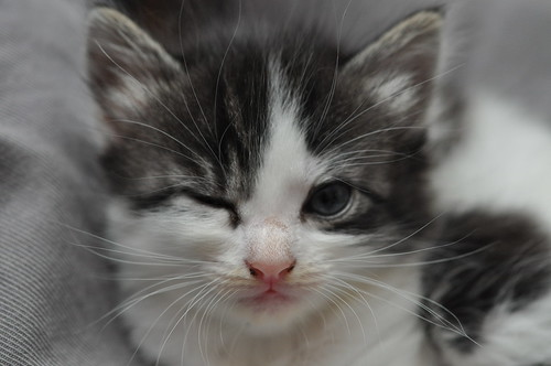 20120710 Kitten Winking 005 | by cygnus921