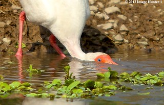 White Ibis Showing How Drinking Water Is Done With A Long, Curved Beak | by Image Hunter 1
