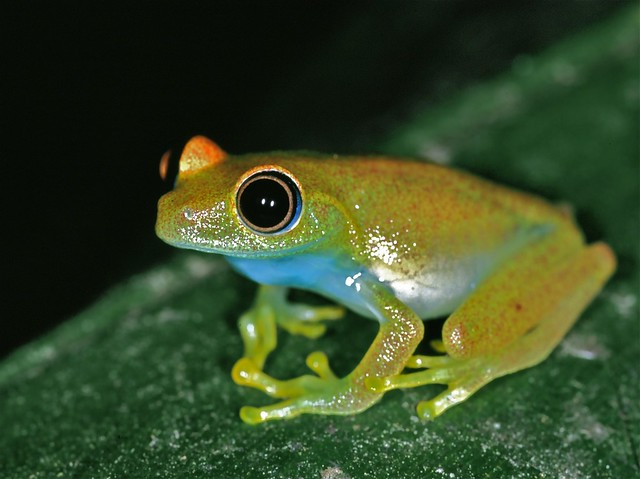 Green Bright-eyed Frog (Boophis viridis) | Flickr - Photo ...