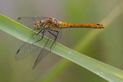 Dragon Fly female | by Roland B43