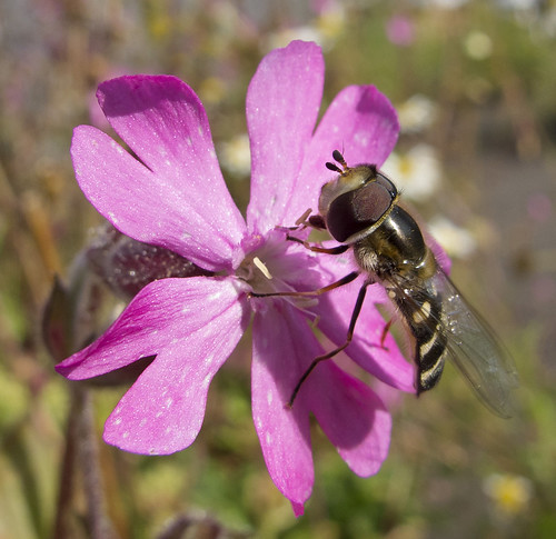 Hoverfly on Red Campion | by Cath Scott