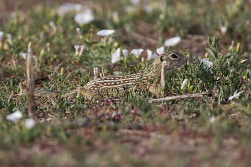 Thirteen-lined ground squirrel | by dcstep