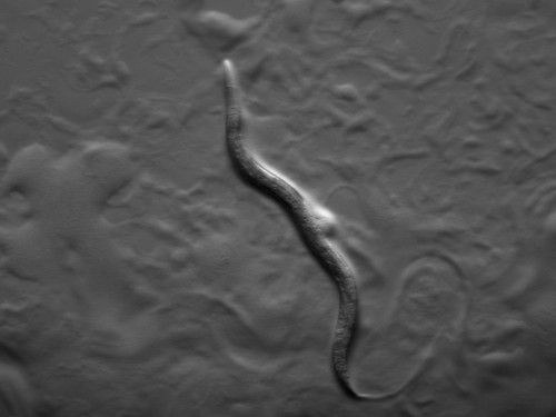 "Roundworm with ""selfish"" DNA 