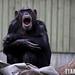 Chimpanzee / Chimpanse