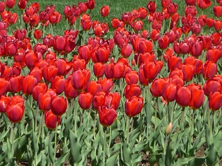 Red Tulips  Photo by Sunshine E. Monk | by sunnimonk