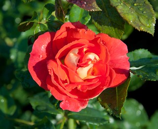 Rosa Gebruder Grimm Sw 8-12-12 2323 lo-res | by danceyoumonster