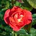 Rosa Gebruder Grimm Sw 8-12-12 2323 lo-res