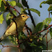 Young Willow Warbler (Phylloscopus trochilus)