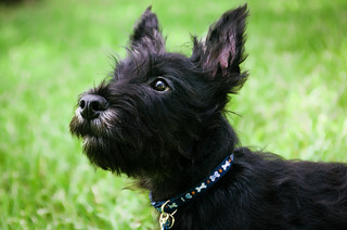 Scottish Terrier | by mike_orlando