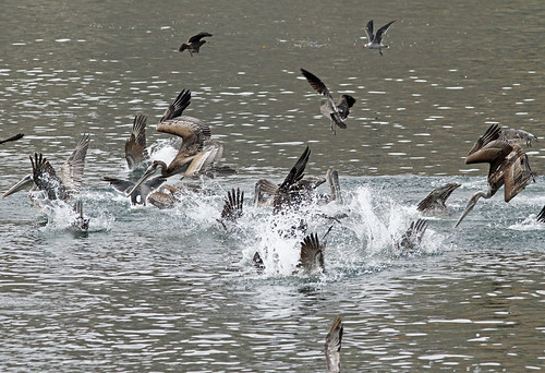 Pelicans Diving, Heerman's Gulls Swarming | by brad.schram
