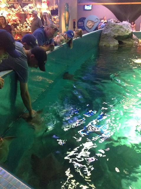 黄貂鱼会游到岸边让游客抚摸