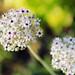 Hokkaido flower