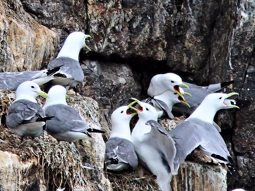 Black-legged Kittiwakes 20110625 | by Kenneth Cole Schneider